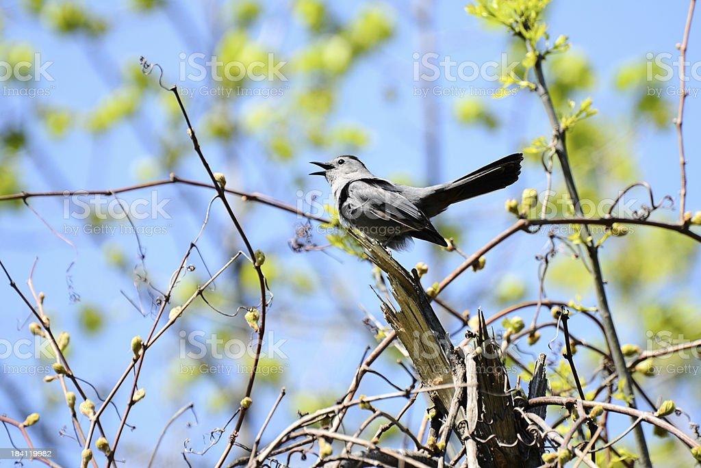 Singing Catbird stock photo