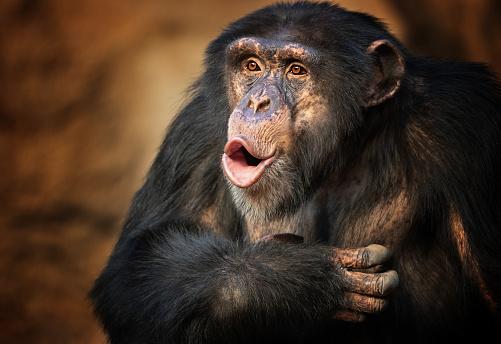 Singing common chimpanzee (Pan troglodytes)