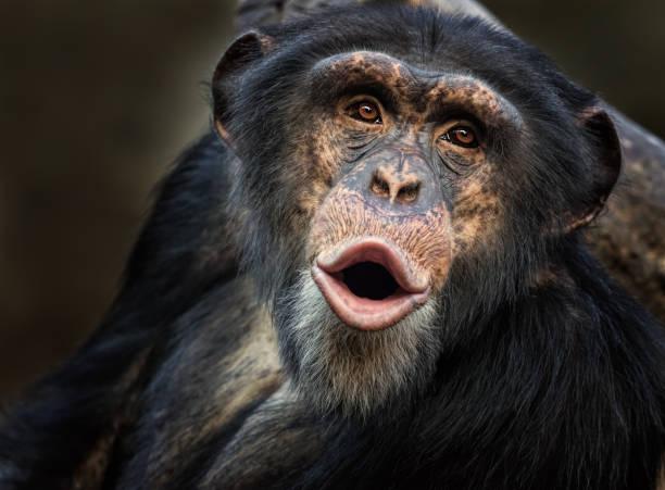 Singing common chimpanzee picture id980054416?b=1&k=6&m=980054416&s=612x612&w=0&h=d6ygj0 djik8rwwbn2q7ina7suohy9yzyexoplgbngy=