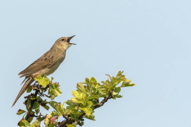 Chanter la sauterelle commune Paruline oiseau Locustella naevia accouplement au cours de la saison du printemps - Photo