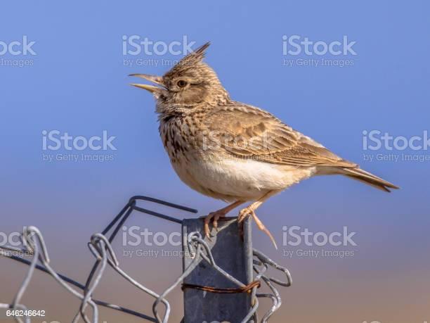 Singing crested lark on wire mesh fence picture id646246642?b=1&k=6&m=646246642&s=612x612&h=coaoemot3nqlcm wsbu5bl2zokqg075vdndqu4 oxmc=