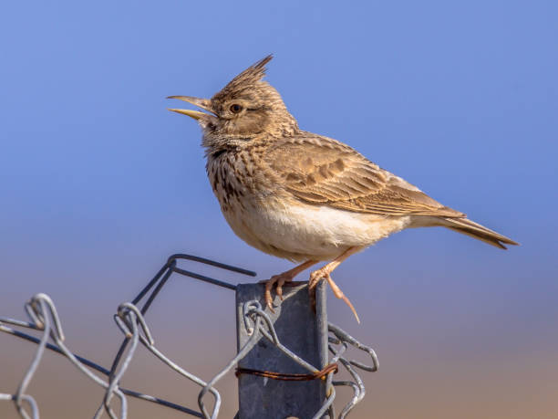 Singing Crested lark  on wire mesh fence stock photo