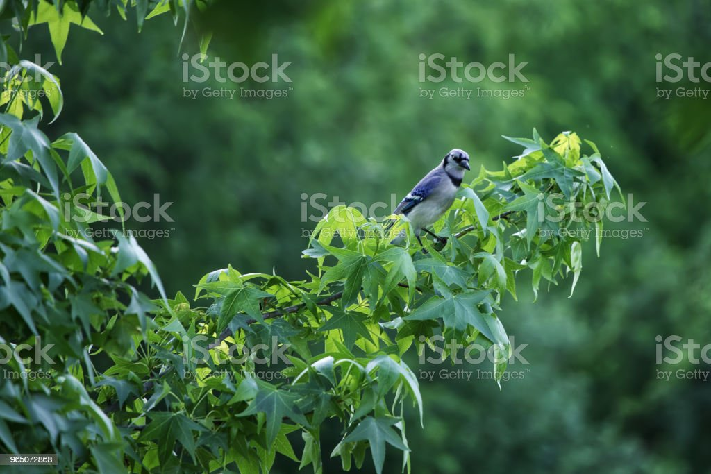 Singing in the tree royalty-free stock photo