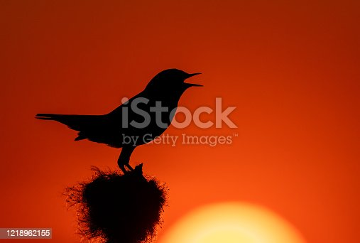 Silhouette of a singing white-spotted male bluethroat against the setting sun.