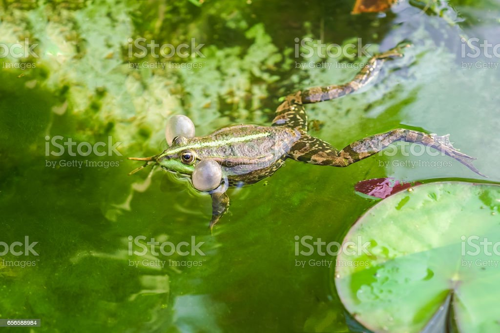 Singing male marsh frog (Pelophylax ridibundus) stock photo