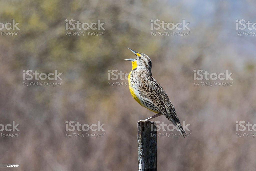 Singing Meadowlark stock photo