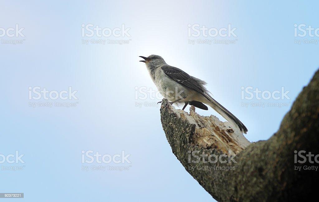 Singing Mockingbird royalty-free stock photo