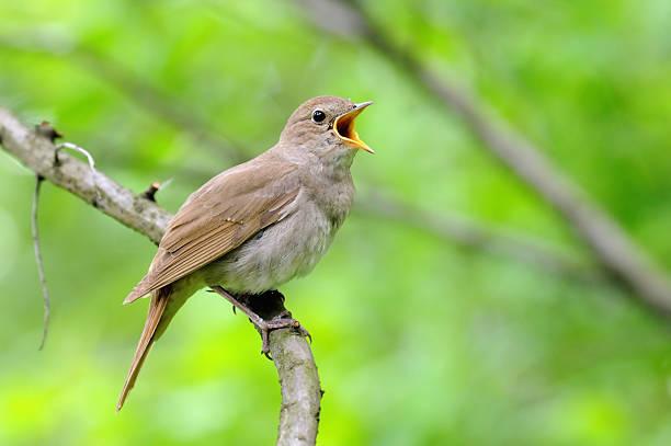 Singing nightingale sur fond vert - Photo