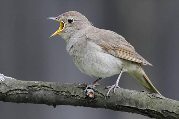 Singing nightingale sur fond gris - Photo