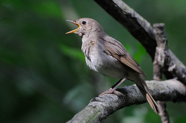 Singing nightingale dans la Forêt sombre - Photo