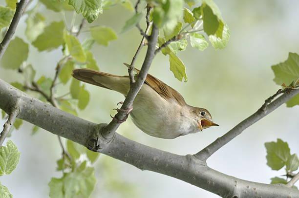 Chanter Nightingale - Photo