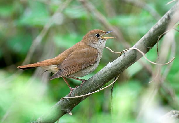 Chanter Nightingale (Luscinia megarhynchos - Photo
