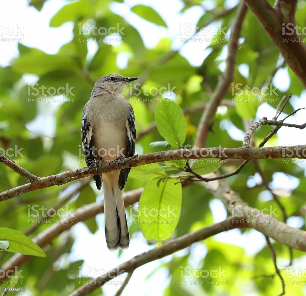 Singing Northern Mocking Bird stock photo
