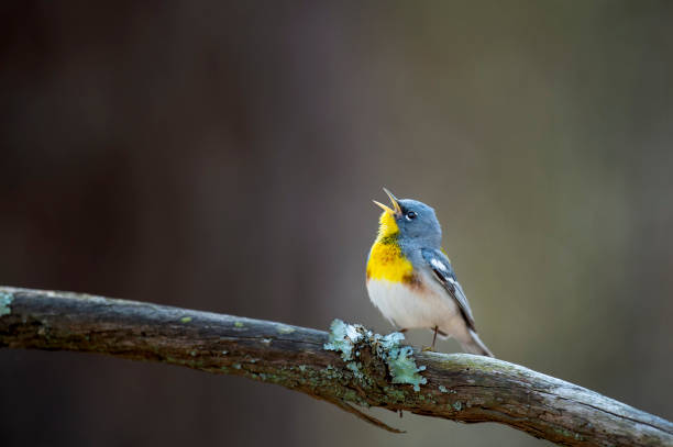 het zingen noordelijke parula - zanger vogel stockfoto's en -beelden