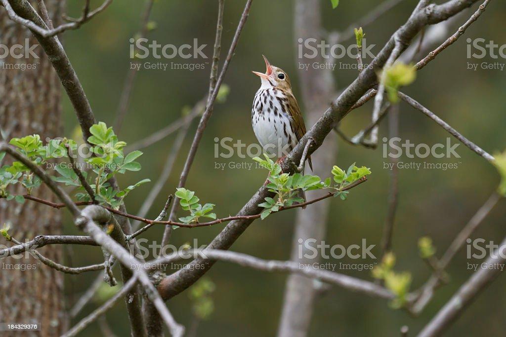 Singing Ovenbird (Seiurus aurocapillus) stock photo