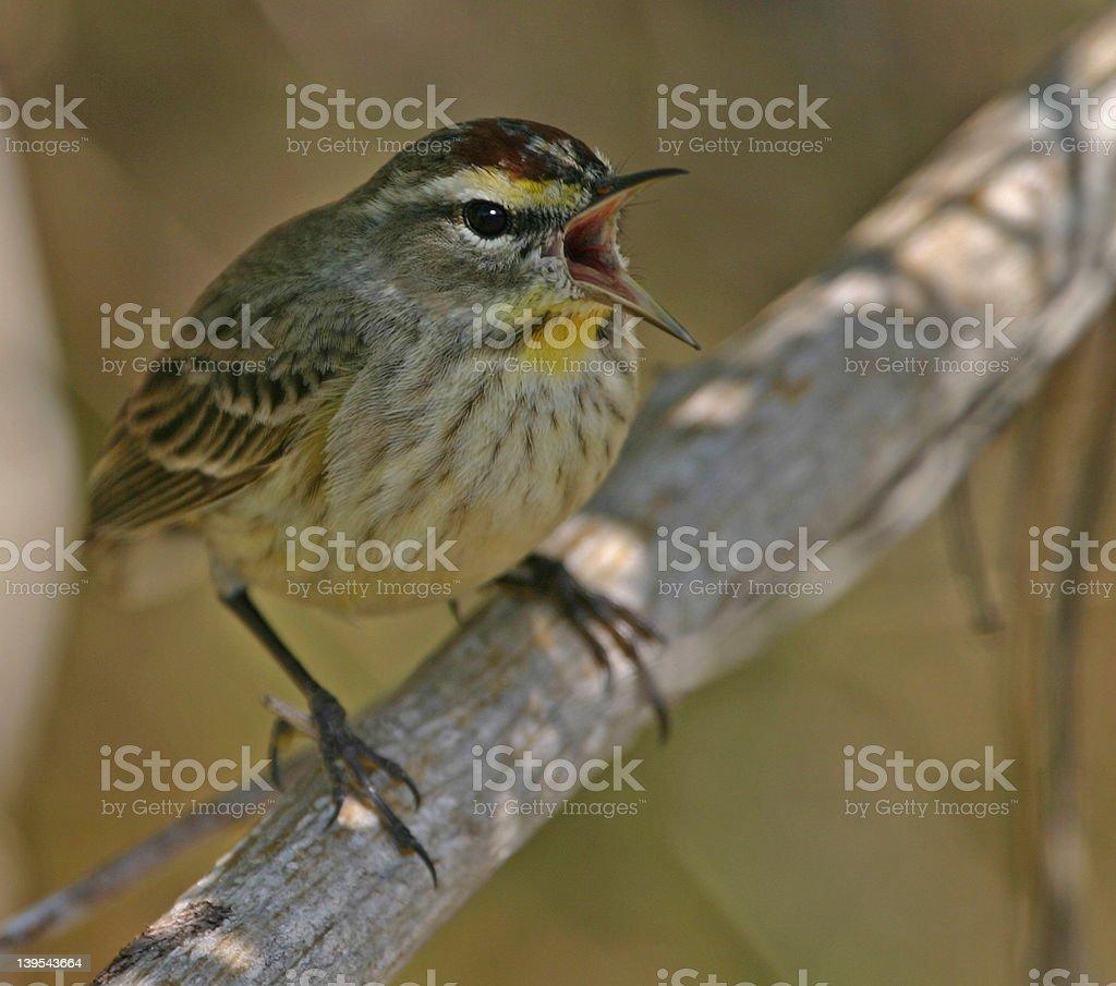 Singing palm warbler royalty-free stock photo