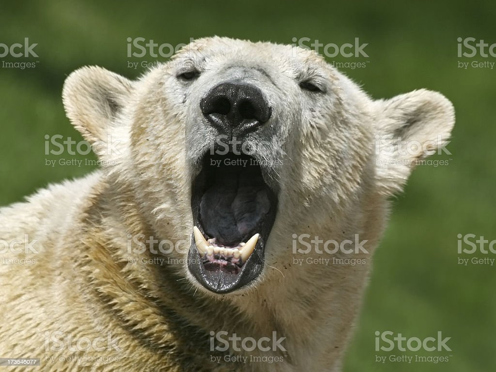 Singing Polar Bear (Ursus Maritimus) A wet polar bear with a special facial expression. RAW-file developed with Adobe Lightroom. Animal Hair Stock Photo