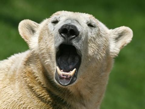 Singing Polar Bear Stock Photo - Download Image Now
