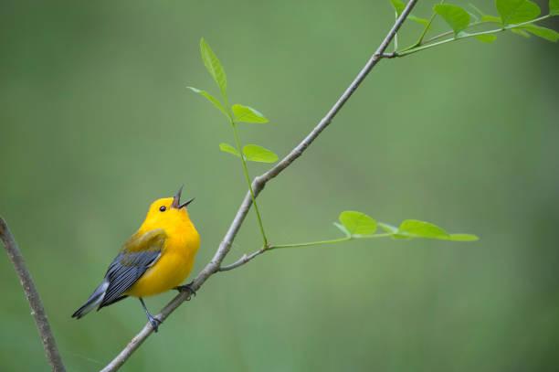 zingen citroenzanger grasmus - amerikaanse zangers stockfoto's en -beelden