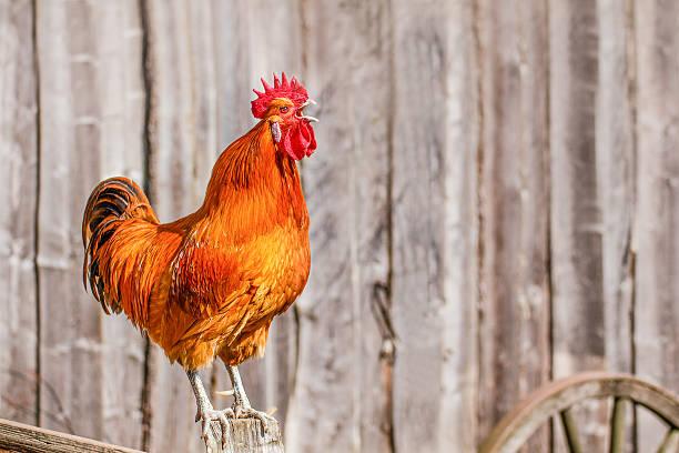 chanter red rooster - coq photos et images de collection