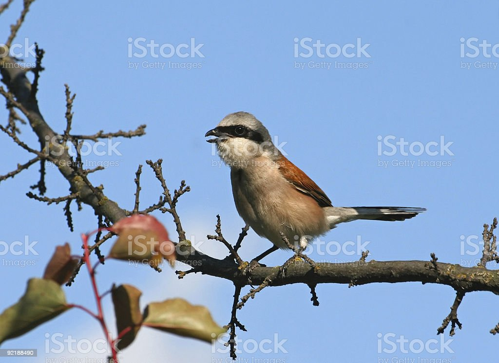 Singing red-backed shrike (Lanius collurio) royalty-free stock photo
