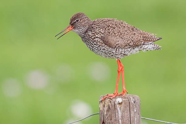 Singen Redshank (Tringa totanus). – Foto