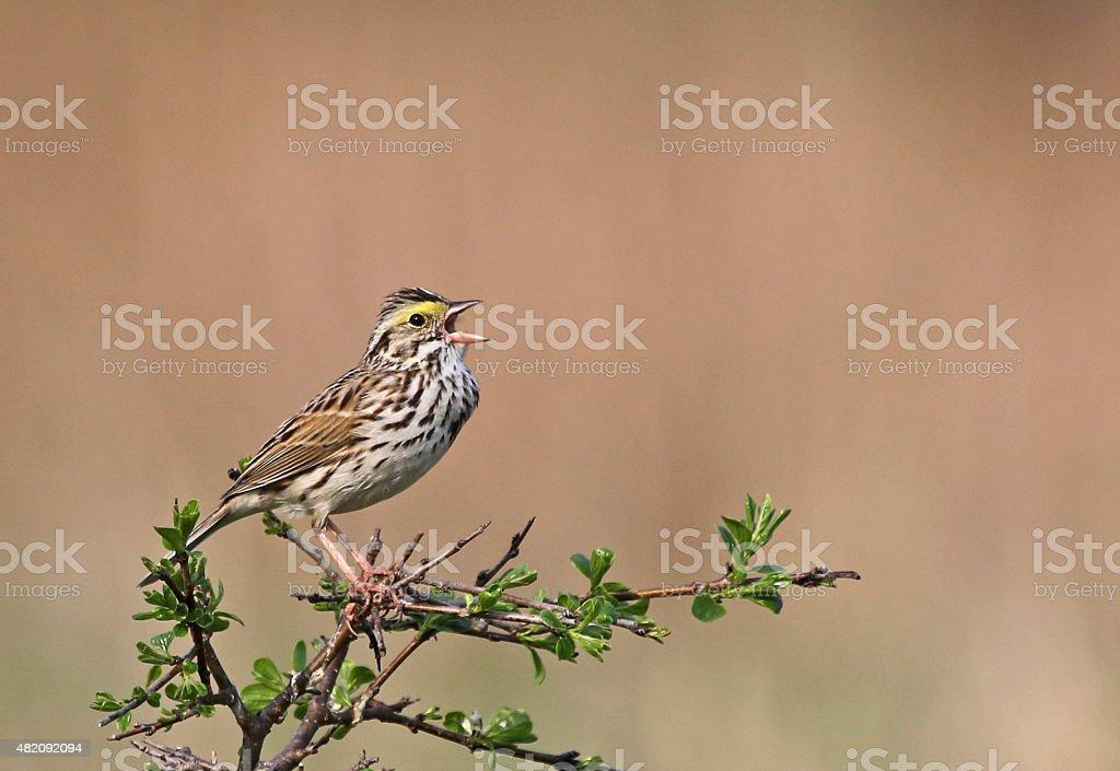 Singing Savannah Sparrow stock photo