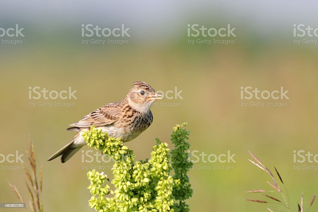 Singing skylark at grass perch at the meadow stock photo