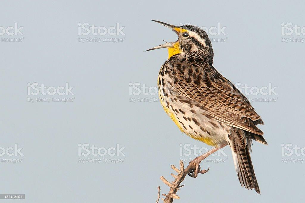 Singing Western Meadowlark royalty-free stock photo