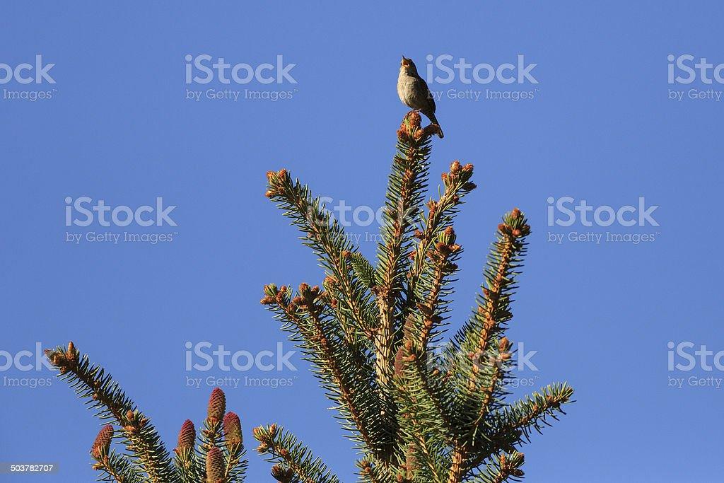 Singing Wren royalty-free stock photo