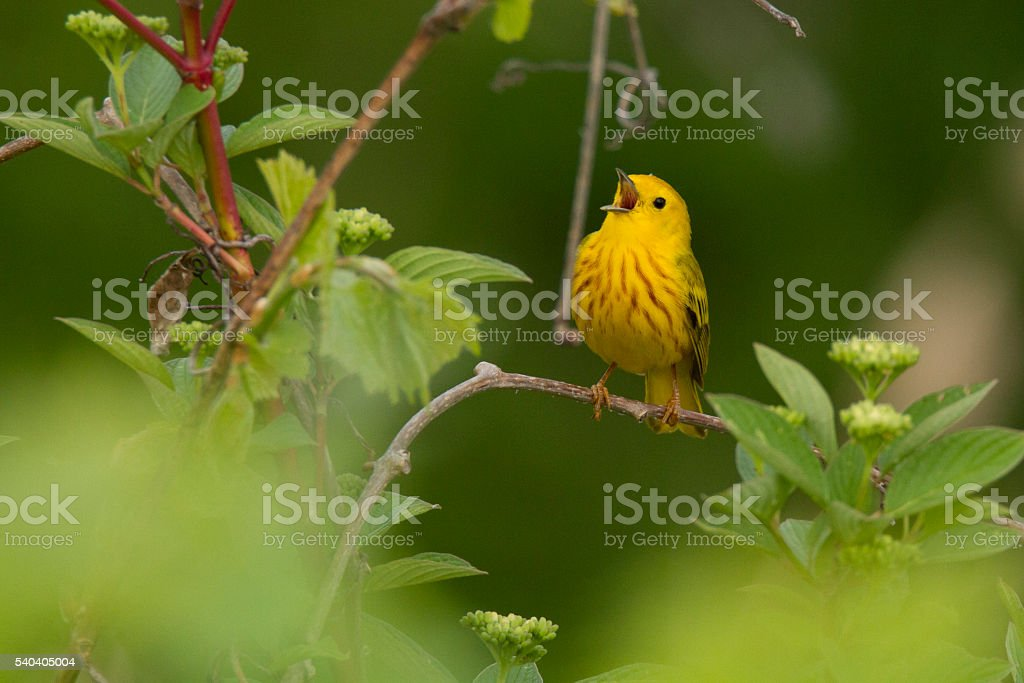 Singing Yellow warbler stock photo