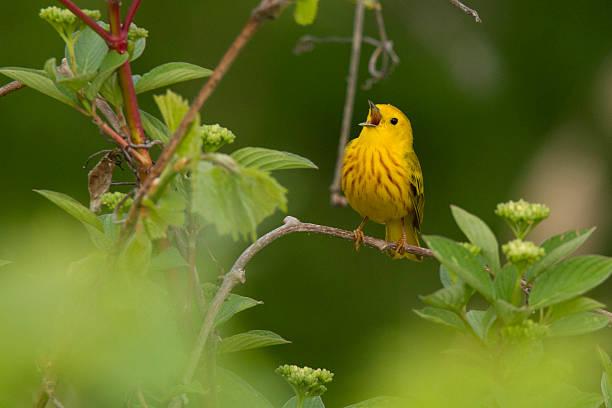 singing yellow warbler - setophaga stockfoto's en -beelden