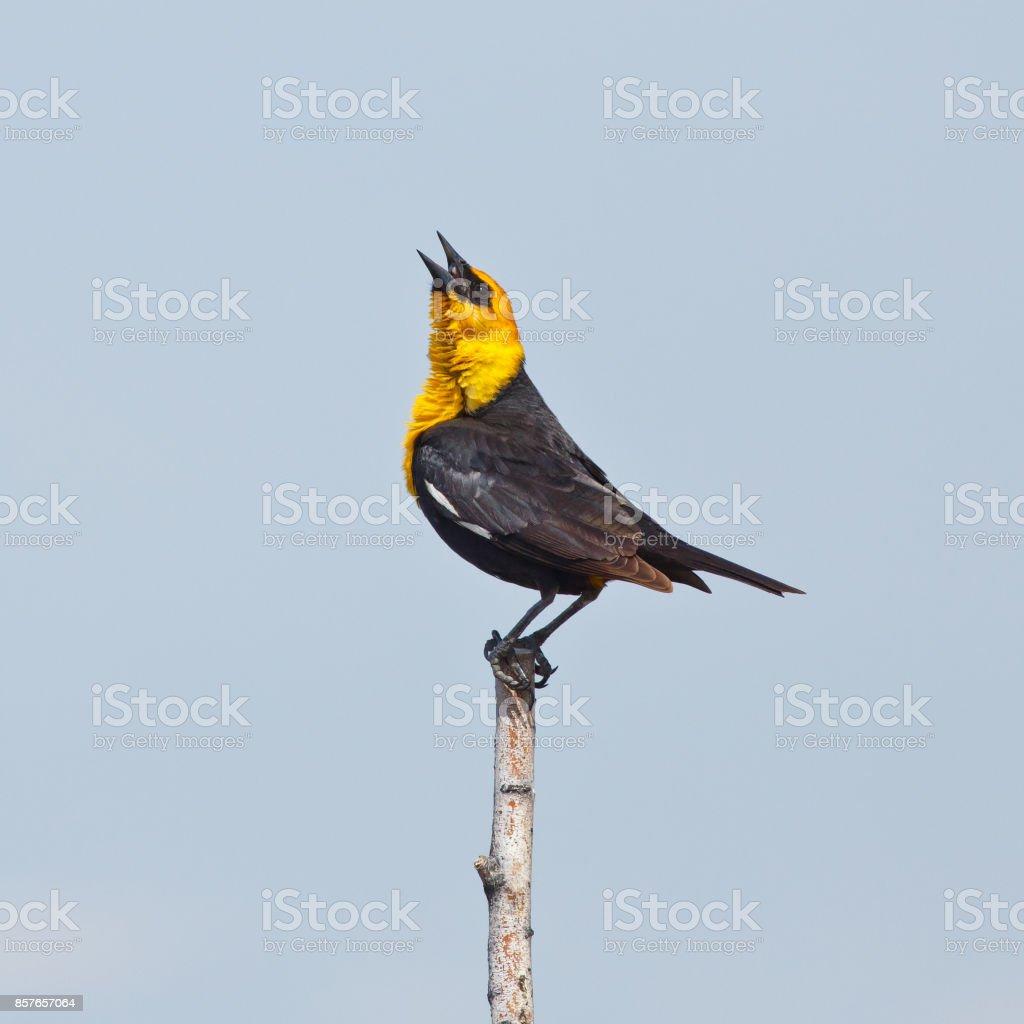 Singing Yellow-headed Blackbird stock photo