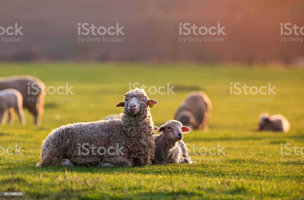 single adorable baby lamb, with its proud mother at sunset stock photo