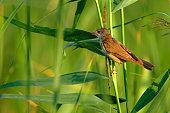 Single adult Eurasian Reed Warbler bird on a reed stem