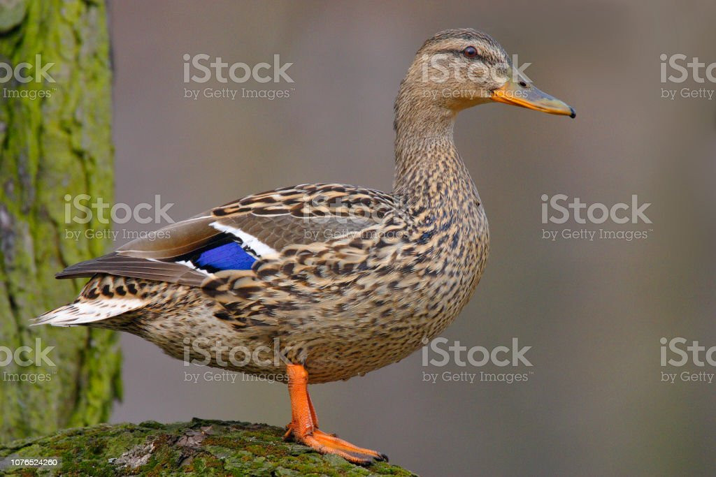 Single adult female Mallard Duck bird on a tree branch