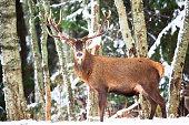 雪と冬の森で大きな美しい角を持つ単一大人高貴なシカ。雪と大きな枝角を持つ鹿欧州野生動物風景。