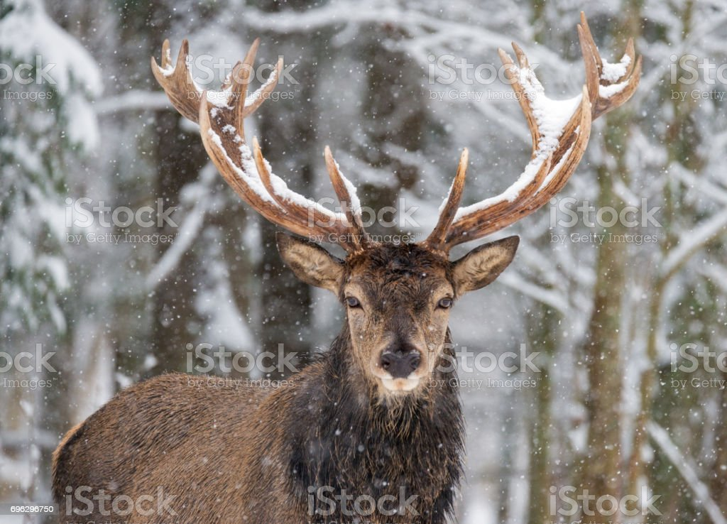 Single adult noble deer with big beautiful horns on snowy field Looking at you. European wildlife landscape with snow and deer with big antlers.Portrait of Lonely stag Under falling Snowflakes.Belarus stock photo