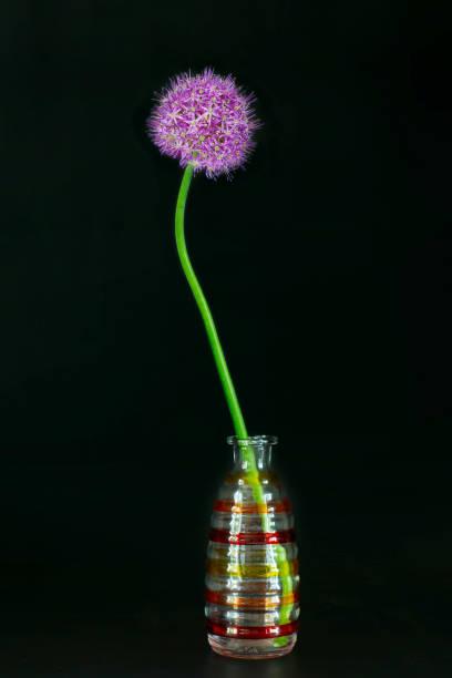 Enkelvoudige Allium bloem in een decoratieve vaas tegen zwarte achtergrond foto