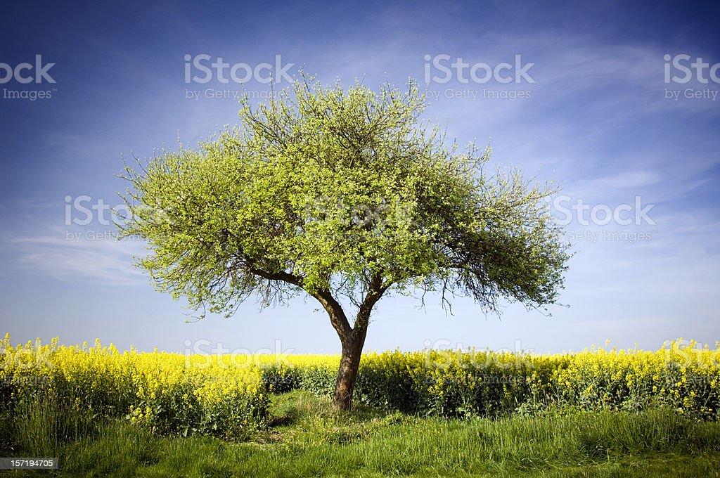 Single apple tree stock photo
