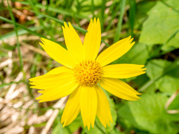 Single arnica blossom with blurred background and copy space stock photo