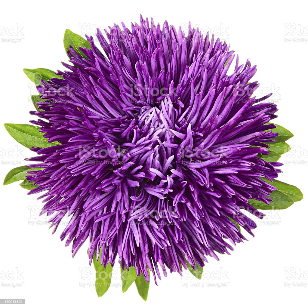 Single aster stock photo