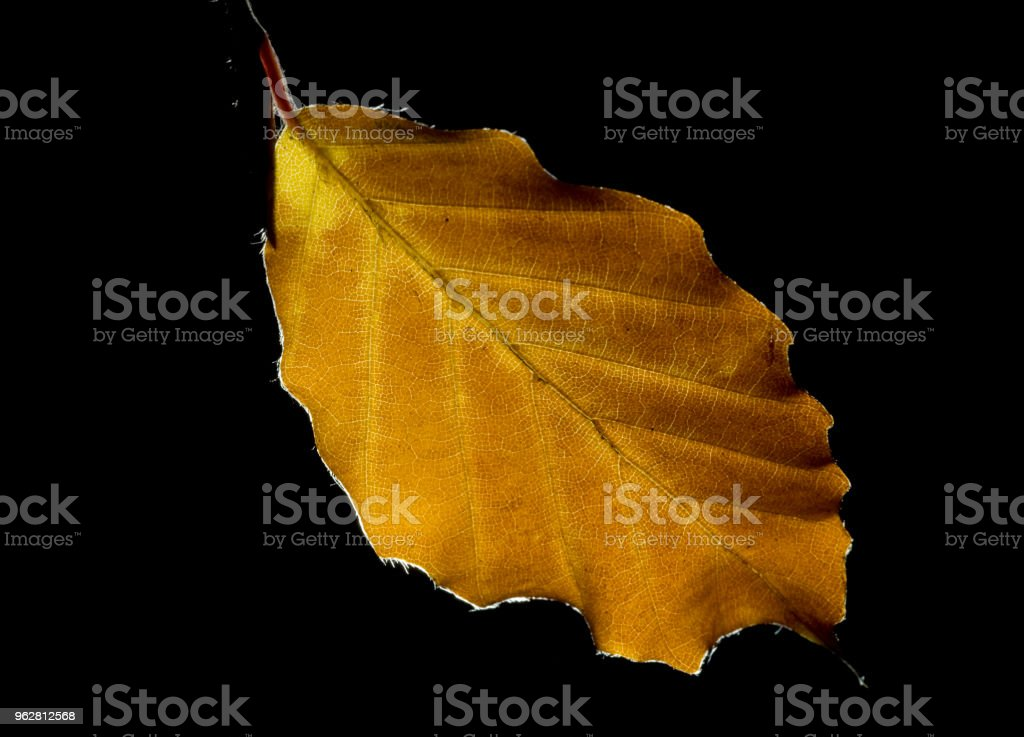 single autumn leaf using backlighting on a black background close up - Foto stock royalty-free di Autunno
