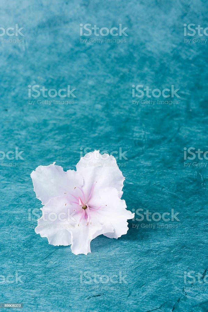 Einzelne Azalea floret, Türkis bground Lizenzfreies stock-foto