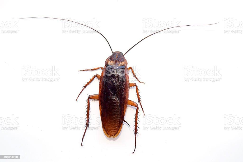 single back cockroach isolate on white background stock photo