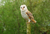 Single barn Owl on top of a tree trunk , looking at view.