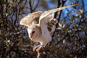 The barn owl is the most widely distributed species of owl and one of the most widespread of all birds. This owl sits on a branch in early morning light.