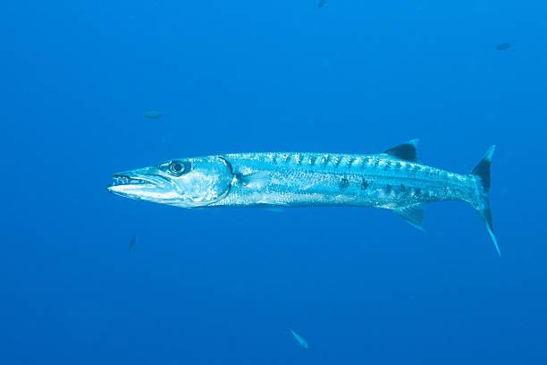 Barracuda de solteiro - foto de acervo