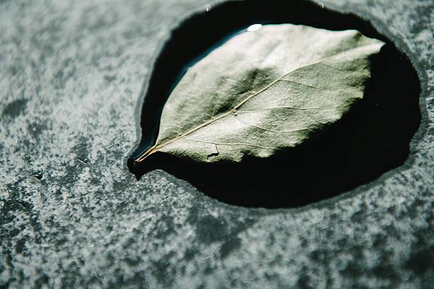Single Basil Leaf stock photo