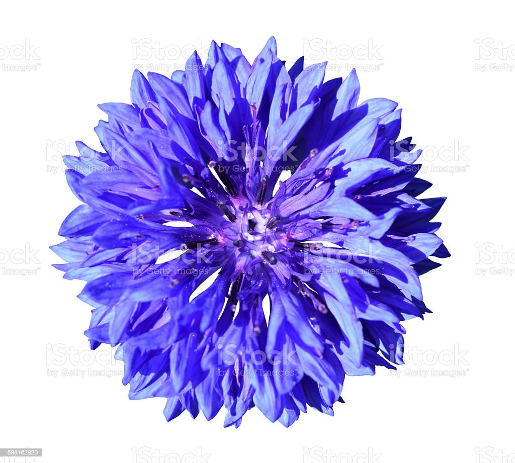 Single Beautiful Blue Cornflower Flower Herb Blossom Isolated on White stock photo